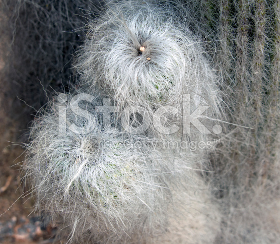 Old man kaktus di terrarium Jakarta Indonesia