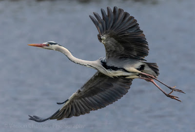 Grey Heron Taking Flight - Table Bay Nature Reserve, Woodbridge Island