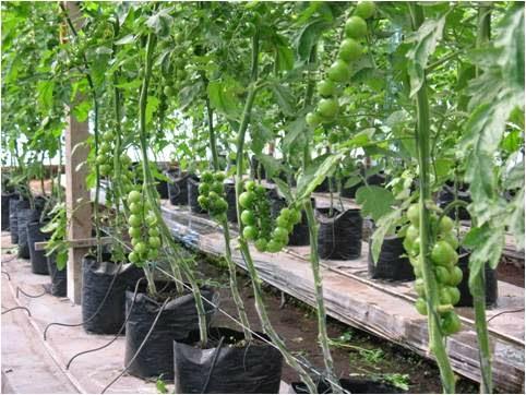 Tomat yaitu flora sayuran yang gampang dalam membudidayakannya Cara Budidaya Tomat dalam Polybag | Menanam Tomat