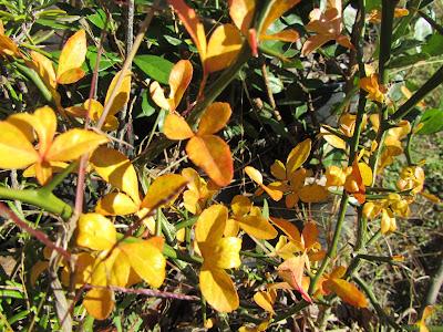 Foglie Gialle in Autunno Citrus trifoliata