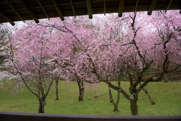 卯辰山四百年の森の桜