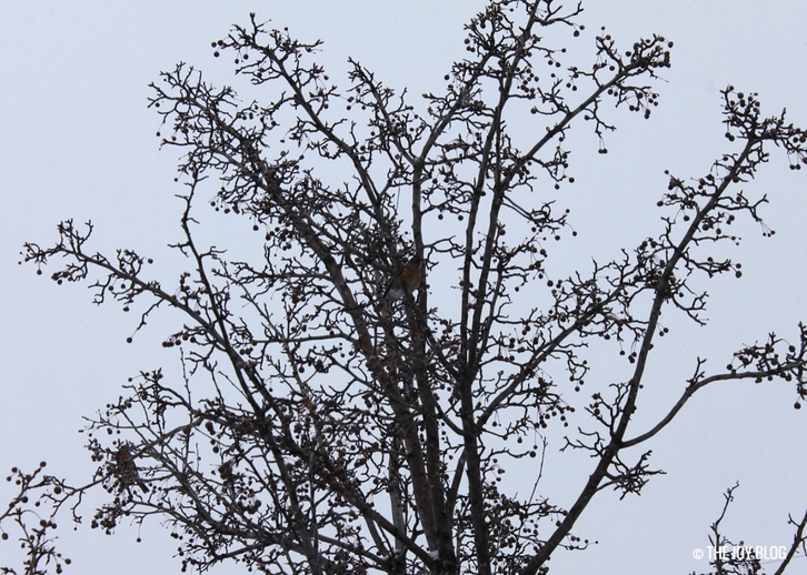 Robins in a crabapple tree in winter.  // The Red Cat & The Red Chested Robins | WWW.THEJOYBLOG.NET