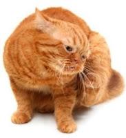 Flea allergy dermatitis in cats is becoming more common.