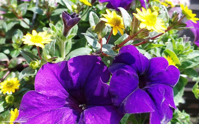 Foto paarse bloemen