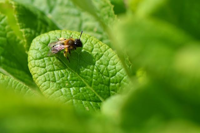 Andrena abeille sauvage prenant le soleil sur une feuille de primevère