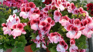Decimos Geranio pero es Pelargonium