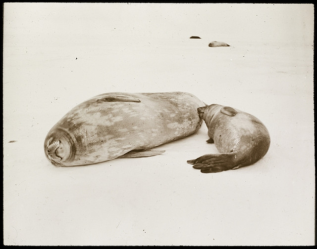 Suckling, Shackleton - Rowett Expedition, Antarctica, 1921 - 1922. From the collection of the State Library of New South Wales.
