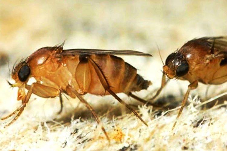 Forit Sinekleri kesesinde taşıdıkları yumurtalarını karıncanın vücuduna yerleştirir.