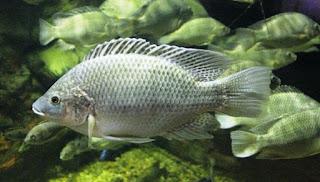 cara budidaya ikan mujair nila,cara budidaya ikan mujair di kolam beton,cara budidaya ikan mujair kolam terpal,cara budidaya ikan mujair di kolam terpal,cara budidaya ikan mujair di aquarium,