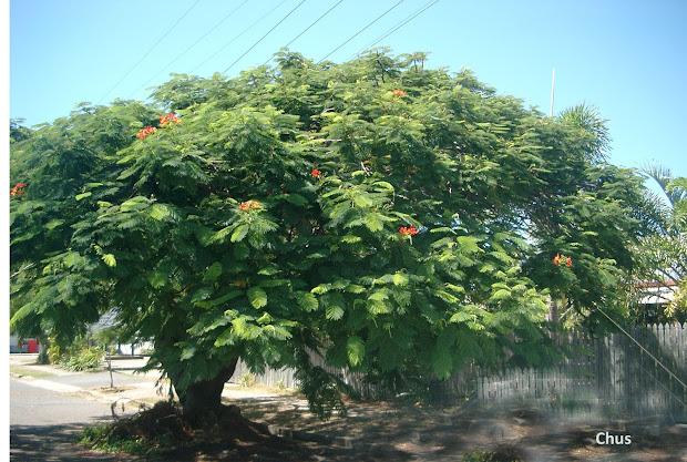 20 Flamboyan Tree Puerto Rico Para Colorear Pictures And Ideas On