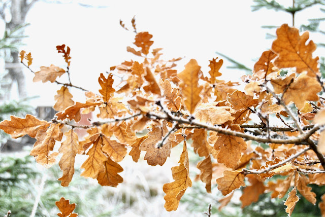 Frosty quercus