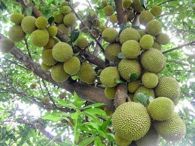 Pohon durian merah di Banyuwangi