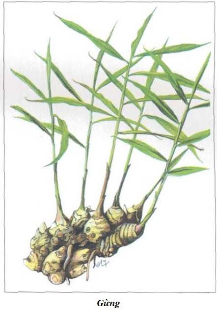 Gừng - Zingiber offcinale - Nguyên liệu làm thuốc Chữa Bệnh Tiêu Hóa