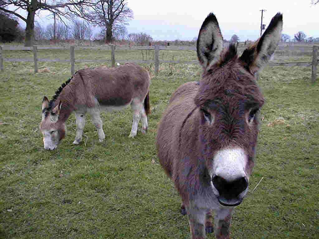 Donkey Wallpaper Donkey Wallpapers Fun Animals Wiki Videos Pictures Stories