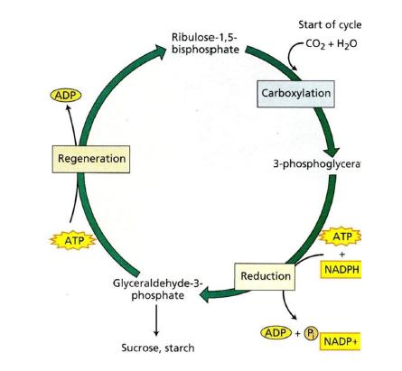 Gambar Ringkasan Reaksi Gelap (Siklus Kalvin)