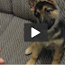 At the point when This Puppy Hears The Phone Ring, He Has The Funniest Reaction