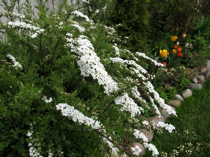 Nadezda S Northern Garden Grefsheim Spirea