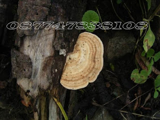 cara atasi jamur putih tanaman karet