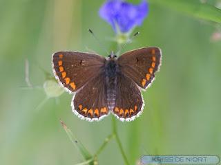 Aricia agestis - Collier-de-corail - Argus brun
