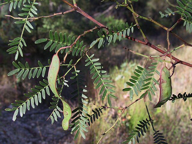 acacia halamang gamot sa eczema