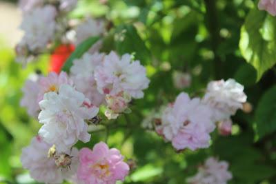 A fleur d 39 un p 39 tit caprice - Deplacer un rosier ...