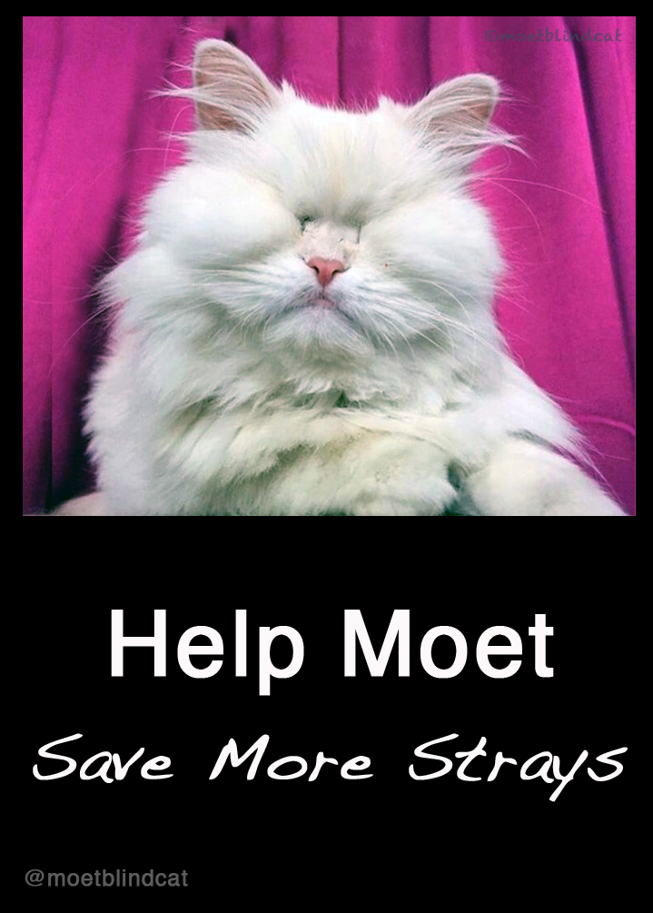 special needs cat adoption, Moet the Blind Cat