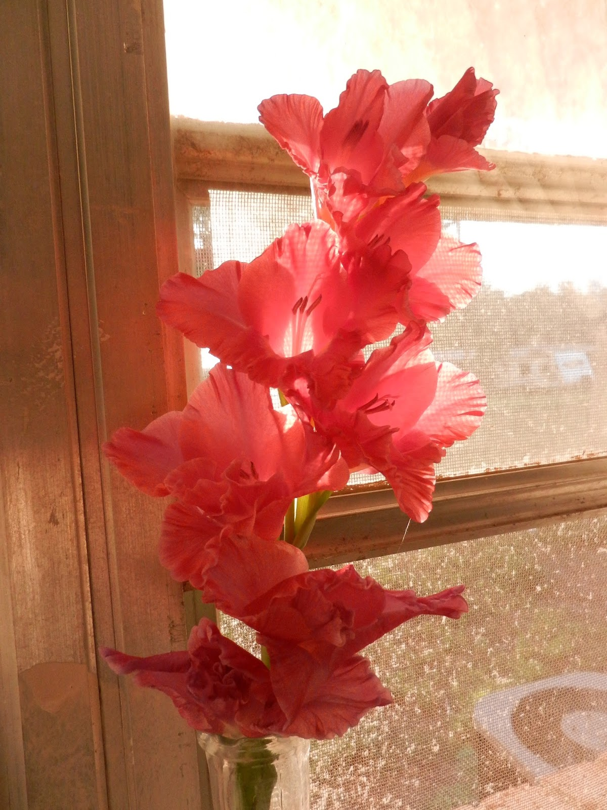 pink gladiolus picture