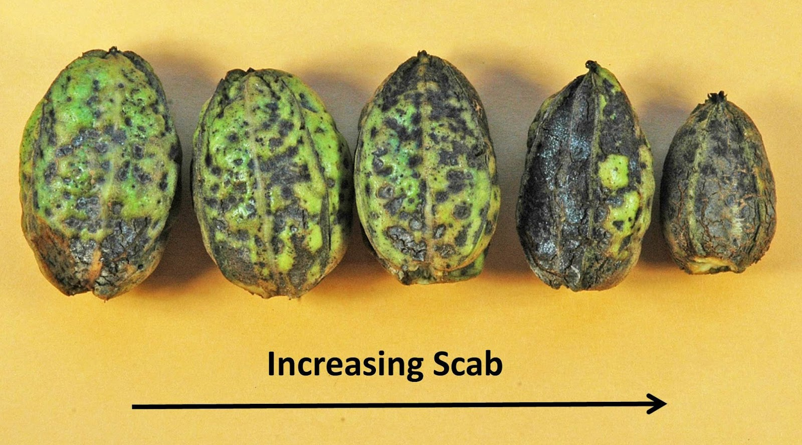 Northern Pecans: Impact of scab on Peruque pecan