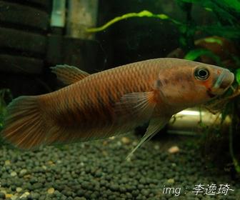 Jenis Ikan Cupang Spesies Betta Patoti