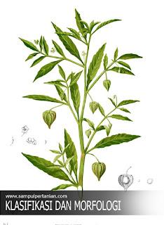 Klasifikasi dan Morfologi Cecenet atau ciplukan (Physalis angulata L.)