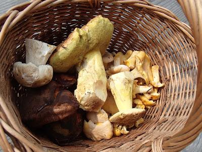 grzyby 2017, grzyby w lipcu, grzyby na Orawie, Cantharellus pallens pieprznik blady, Boletus subappendiculatus borowik górski, pięknoróg największy