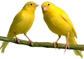 Kumpulan Master Suara Burung Terbaik Mp3 Lengkap