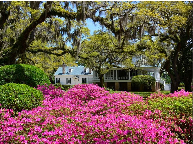 Live Oaks and Azaleas