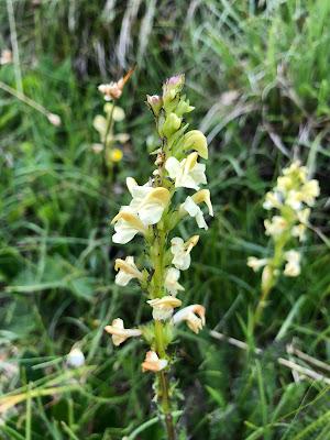 [Orobanchaceae] Pedicularis spp. – Lousewort (Pediculare)