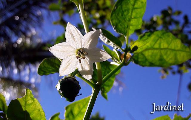 Floração da pimenta Padron