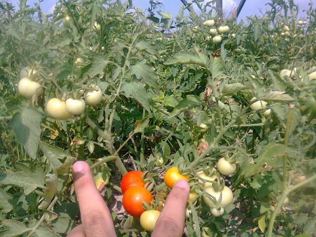 Kebun Tomat Rampai Milik Saya