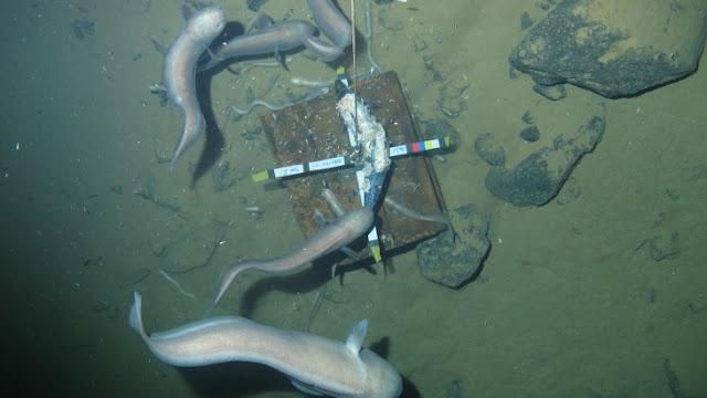 Melting magical fish, scientists find 7,000 meters below sea