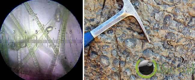 Cyanobacteria (3,8 miliar tahun)