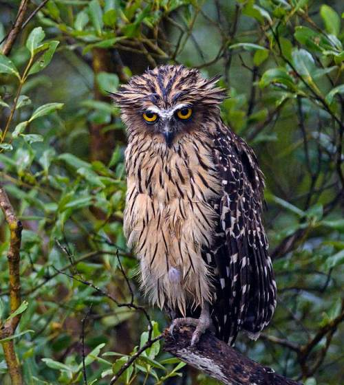 Birds of India - Photo of Buffy fish owl - Ketupa ketupu