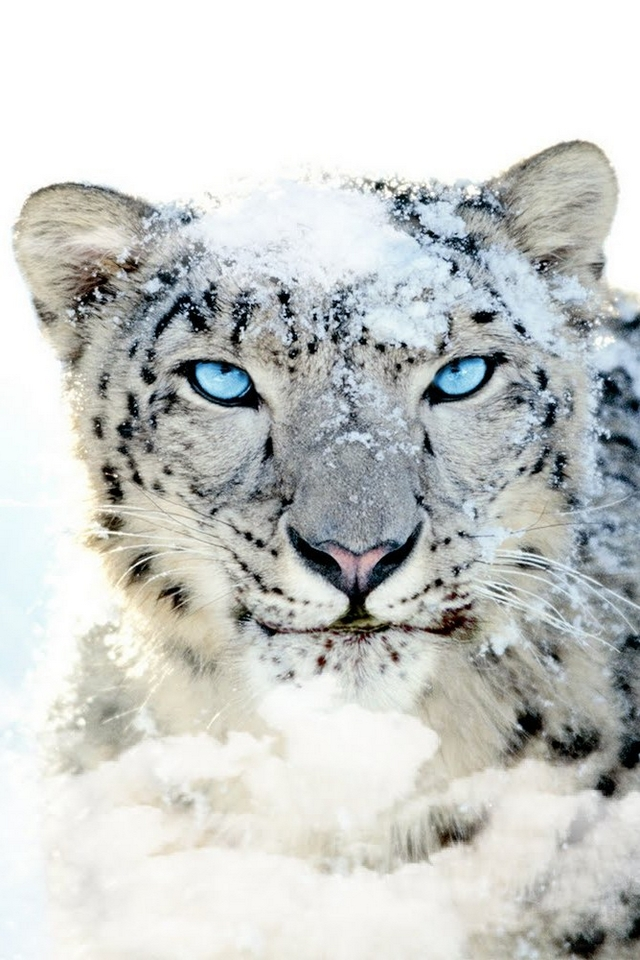 Snow leopard blue eye - Download iPhone,iPod Touch,Android ...