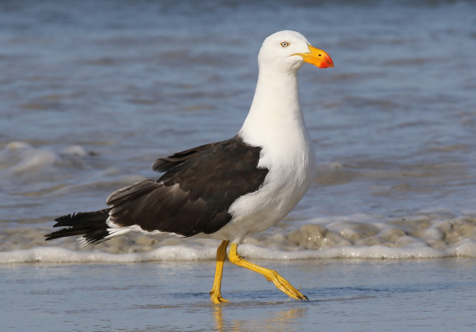 Chris Gibbins - gulls & birds: Pacific Gull