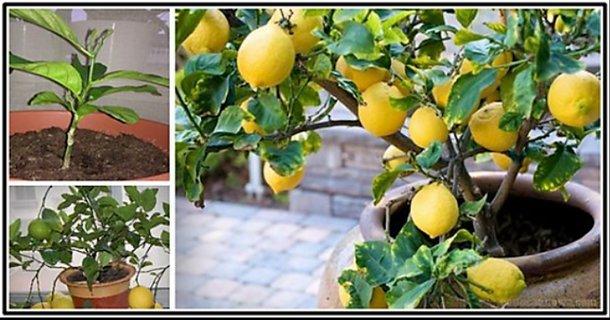 grow a lemon