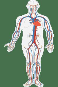 El sistema venoso con las venas más importantes, integrado en el sistema circulatorio