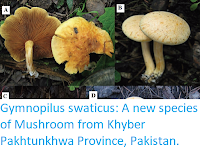 http://sciencythoughts.blogspot.co.uk/2017/09/gymnopilus-swaticus-new-species-of.html