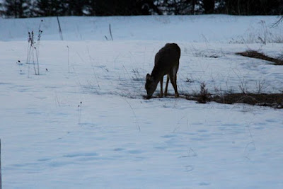 whitetail deer in snowy field
