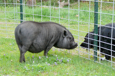 Priscilla and Mr Speckles having a chat at mini-farm of Wallace and Nancy Braud