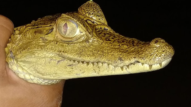 white caiman of the Amazon Rainforest