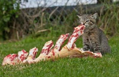 gato-carnívoro-proteinas-alimentacion-correcta
