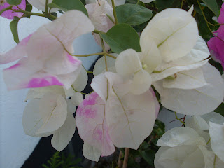 Κλαδάκι μπουκαμβίλιας ,σε ασπρο χρώμα με πιτσιλιές ροζ