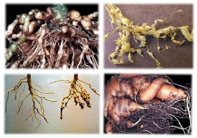 neagră plantară infecțioasă sau nu